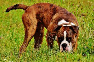 Met zijn karakterestieke kop verdiend hij een mooie plek nummer 9 in de meest populaire hondenrassenlijst van Nederland