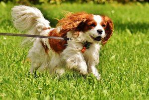 Cavalier King Charles nummer 8 op de lijst meest populaire hondenrassen van Nederland