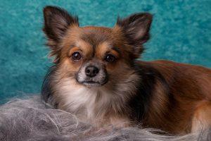 Chihuhua klein en populair, nummer 7 op de lijst meest populaire hondenrassen