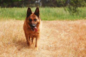 De Duitse Herder is de op een na populairste hond van Nederland