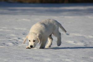Golden retriever staat op nummer 3 als meest populaire hond in Nederland