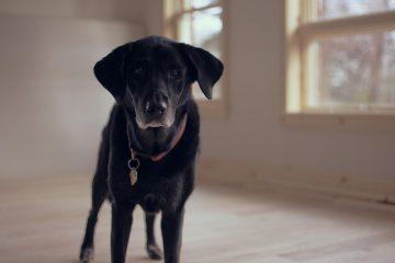 labrador Retriever is de populairste hond van Nederland in 2017