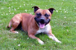 Staffordshire Bull Terrier is de 5e populaire hondenras van Nederland