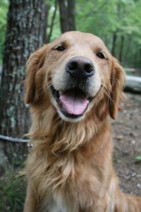 een van de meest kindvriendelijke honden is een golden retriever