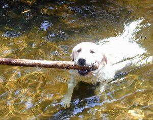Honden lopen op allerlei plaatsen risico's om teken op te lopen