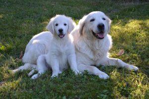 Kiest u voor een volwassenhond of pup?